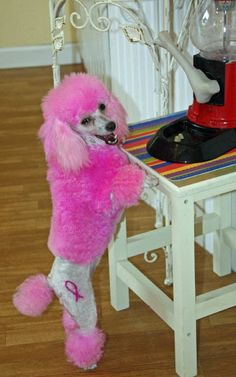 breast cancer awareness toy poodle
