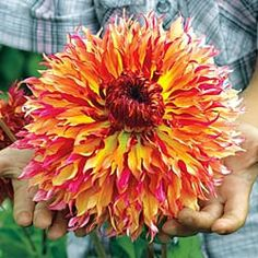 Myrtle's Folly dinner-plate dahlia. (zones 3-10)