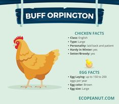 What are some things you need to consider before Making a Correct Chicken-Choice? Here are the BEST Egg-Laying Chickens. Buff Chicken, Chicken Facts, Chicken Life, City Chicken, Chicken Ideas, Backyard Poultry, Backyard Chicken Coops, Chickens Backyard, Buff Orpington