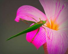 Grasshopper on belladonna lily. Photo by Petra Elliot 🌅
