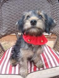 Nick is an adoptable Yorkshire Terrier Yorkie Dog in Monroe, NC. ***NICK HAS AN ADOPTION PENDING AND WE ARE NOT ACCEPTING ANY MORE APPLICATIONS AT THIS TIME*** Hi!  My name is Nick and I am 16 weeks o...