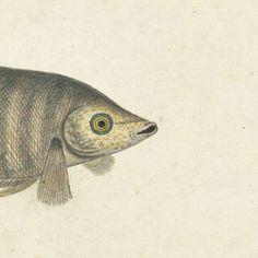 Goerami vis, toegeschreven aan Robert Jacob Gordon, 1777 - 1786 - Zoeken - Rijksmuseum