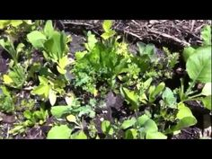 The Benefits of Growing Mustard Greens - YouTube