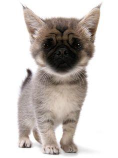 Pug Cat