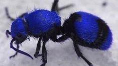Blue velvet ant (wasp)