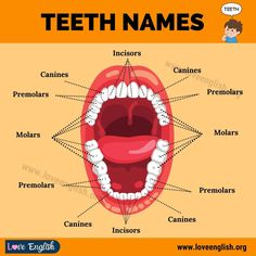 Teeth Names Advanced English Vocabulary, Learn English Grammar, English Vocabulary Words, Learn English Words, English Phrases, English Language Learning, Teaching English, English Tips, English Study