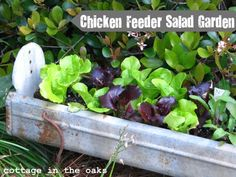 lovely old chicken feeders make great salad gardens, herb gardens, window boxes and dish racks for your buffet.