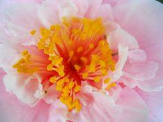 Pink camellia in my backyard