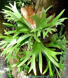 Elk horn Fern. One of my favorite plants! Mine is Huge!