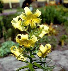 Liliaceae: Lilium kesselringianum Miscz.