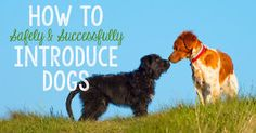 There comes a time in nearly all dog owners' lives when you'll need to introduce your dog (or dogs) to a new or unfamiliar four-legged friend. Because, like humans, not all dogs are instant friends, it's...