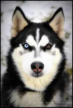 Always wanted a husky with a blue and black eye. But really I'll just settle for any husky. Cute Puppies, Cute Dogs, Dogs And Puppies, Beautiful Dogs, Animals Beautiful, Shiba Inu, Animals And Pets, Cute Animals, Different Colored Eyes