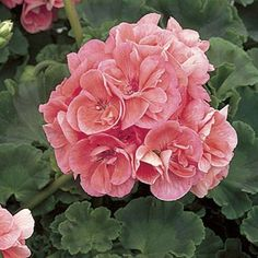 Geraniums, also known as Pelargonium, can easily be propagated and brought indoors to weather the winter until next spring.  Here's how:  | Photo: courtesy of Proven Winners | thisoldhouse.com