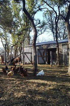 Barn, Cows & Chickens