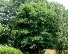 Black locust (Robinia pseudoacacia) | Black Locust Robinia pseudoacacia : HGTV Gardens