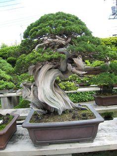 http://bonsaijapan.files.wordpress.com/2007/07/11-100a.jpg