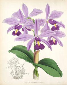 Cattleya violacea1 - R. Warner & B.S. Williams - The Orchid Album - Wikimedia Commons
