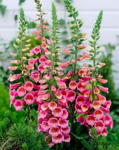 "Perennial European Lady's Foxglove. Self-seeding. 24-30"". Good choice for a cottage or woodland garden"