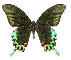 Image: Papilio hermeli