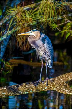Birds ©: Great Blue Heron in the Everglades at sunset, Big Cypress National Preserve, Florida Pretty Birds, Love Birds, Beautiful Birds, Small Birds, Photo Animaliere, Kinds Of Birds, Colorful Birds, Tropical Birds, Exotic Birds