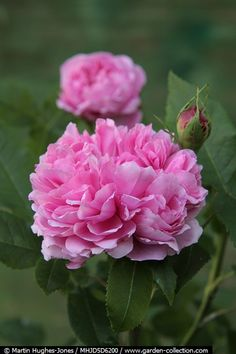 Rosa 'Jacques Cartier' | scented Portland Rose