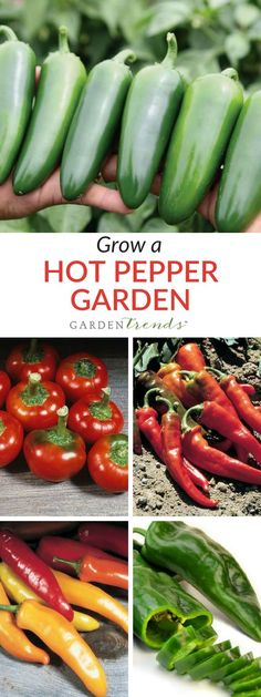 We've combined five of our most popular hot peppers in this mixture.   Collection includes 1 packet each of: Hot Portugal Pepper, Hungarian Wax Pepper, Large Red Cherry Hot Pepper, Everman Pepper, Sequoia Pepper. Click here to grow your own hot pepper garden! #gardentrends #growyourown #vegetablegarden #peppers