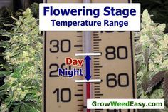 Cannabis flowering stage optimal temps. When cannabis plants are making buds, you will often get the best results by controlling the temperature as described here. Source: http://growweedeasy.com/temperature-growing-cannabis