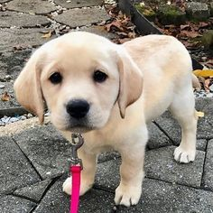 30 Cutest Labrador Retriever Images Make Your Heart Melt – Animals Comparison - Welpen Cute Baby Dogs, Cute Dogs And Puppies, Doggies, Super Cute Animals, Cute Baby Animals, Labrador Puppies For Sale, Cute Puppy Pictures, Labrador Retriever Dog, Dog Cat