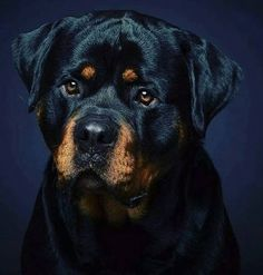 Rottweiler Breed, Rottweiler Love, Wild Animals Pictures, Animal Pictures, Big Dogs, Cute Dogs, Rottweiler Pictures, Guard Dog Breeds, Pet Fox