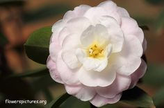 145 best camellia blooms images on pinterest camellia beautiful pictures of camellia flowers red camellia white camellia pink camellia images and photos of camellia flowers mightylinksfo