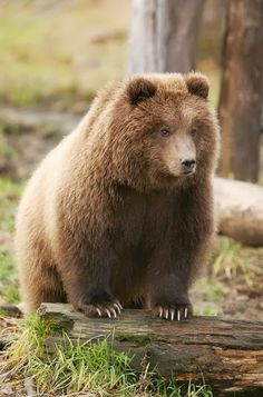 ..Kodiak brown bear