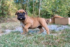Continental Bulldog, Bulldog Breeds, Old English Bulldog, Animals, Puppys, Bavaria, Pet Dogs, House, Animales
