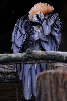 Bearded Vulture by Josef Gelernter, via 500px