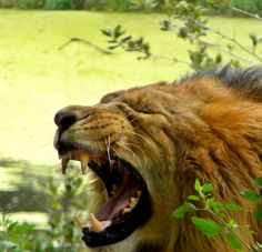 The Fury of a Roaring African Male Lion.