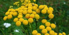 Tanacetum vulgare Insecticide Bio, Permaculture, Landscape, Cottages, Gardening, Plants, Agriculture, Scenery, Cabins