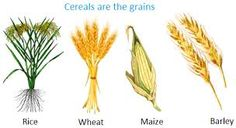 Cereals are the Grains, etc. Plants we eat Tea Plant, Coffee Plant, Cereals And Pulses, How Plants Grow, Father's Day Printable, How To Make Oil, Coffee Uses, Spring Plants, Fruit In Season