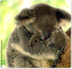koala with baby joey.