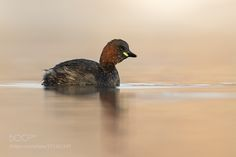 Zwergtaucher | Little Grebe by urszimmermann via http://ift.tt/2cdSf93