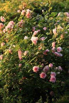Rosier à massif Flowers, Gardens, Beautiful Roses, Rose Trees, Royal Icing Flowers, Flower, Florals, Floral, Blossoms