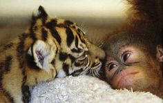 Baby tiger and baby monkey