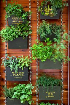wall containers made from cans contain fresh herbs.