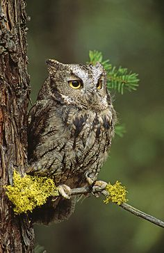 Western Screech Owl.
