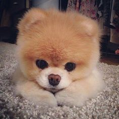 Pomeranian  Puppy #Pomeranian