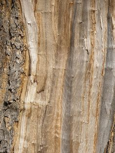 sycamore bark #nature #inspiration #chicagointeriors #amylaudesign