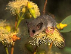 Australian Western Pygmy Possum Cercartetus Concinnus Animalia