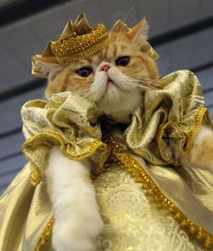 Cats and dogs recently gathered for a costume exhibition in Minsk, Belarus.A woman proudly parades her cat dressed in glittery gold garb. Credit: AP Photo/Sergei Grits