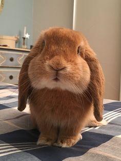 Filippo, coniglio ariete nano