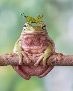 Funny frogs, frog princess, reptiles and amphibians, mammals, beautiful cre Les Reptiles, Reptiles And Amphibians, Mammals, Funny Frogs, Cute Frogs, Animals And Pets, Funny Animals, Cute Animals, Wild Animals