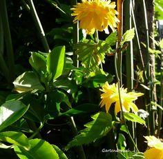 Kreatives aus dem Drosselgarten: Sonnengelbe Blüten des Ranunkelstrauches