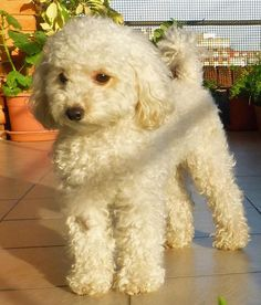 Camila the Toy Poodle-What a pretty Grown-up puppy!